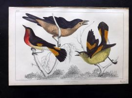 Goldsmith C1850 Hand Col Bird Print. Selby's & Yellow Tailed Gnat-Catcher